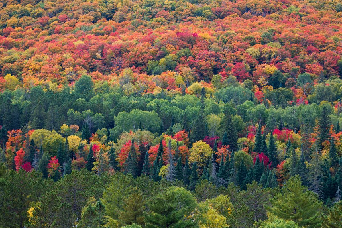 加拿大枫叶林图片